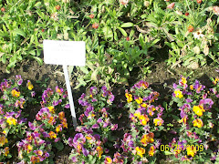 Violas at the botanical garden