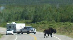One buffalo was determined to get across the road in front of us