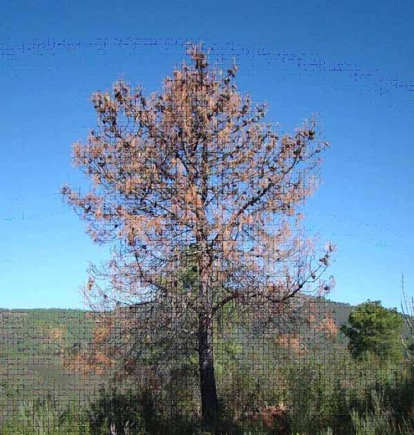 Blog t cnico de la madera nematodo de la madera del pino - Maderas del pino ...