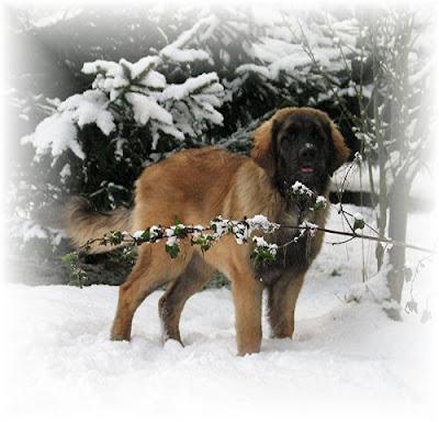 Etiennette, leonberg dans la neige