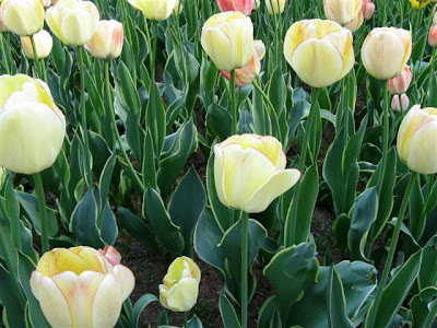 NEW YORK'S TULIPS