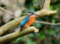 Kingfishers nest in the valley.  You can often see them flying along the river and catching fish