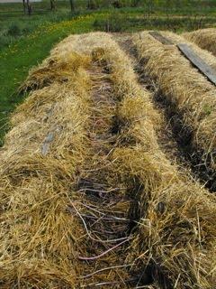 C t cuisine c t jardin pommes de terre cultiv es sur - Pomme de terre sous paille ...