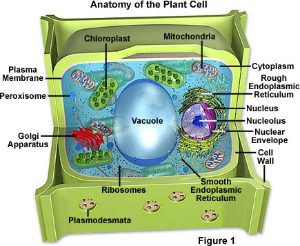 Plant cells is some what like the animal cell,