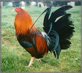 Las 10 mejores razas de gallos de pulgada