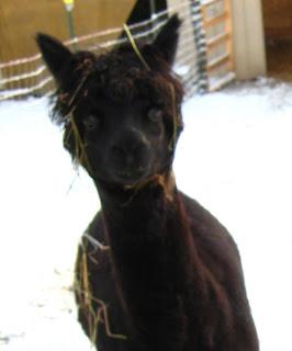 my black alpaca fiber source