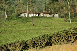 prunned tea bushes