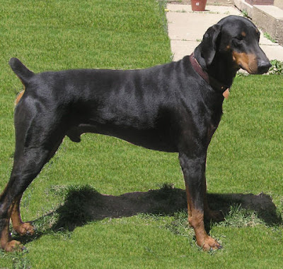 http://m5x.eu/doberman-pinscher-natural-ears-and-tail/