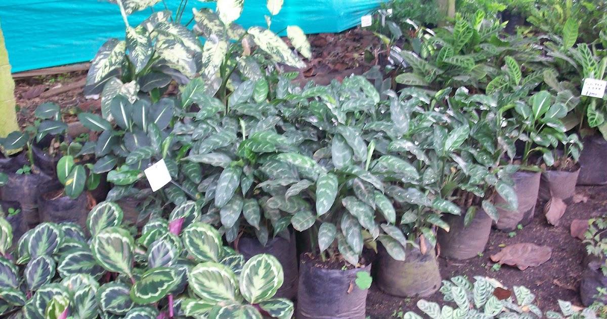 Plantas Planta Ornamentales Sombra Interior