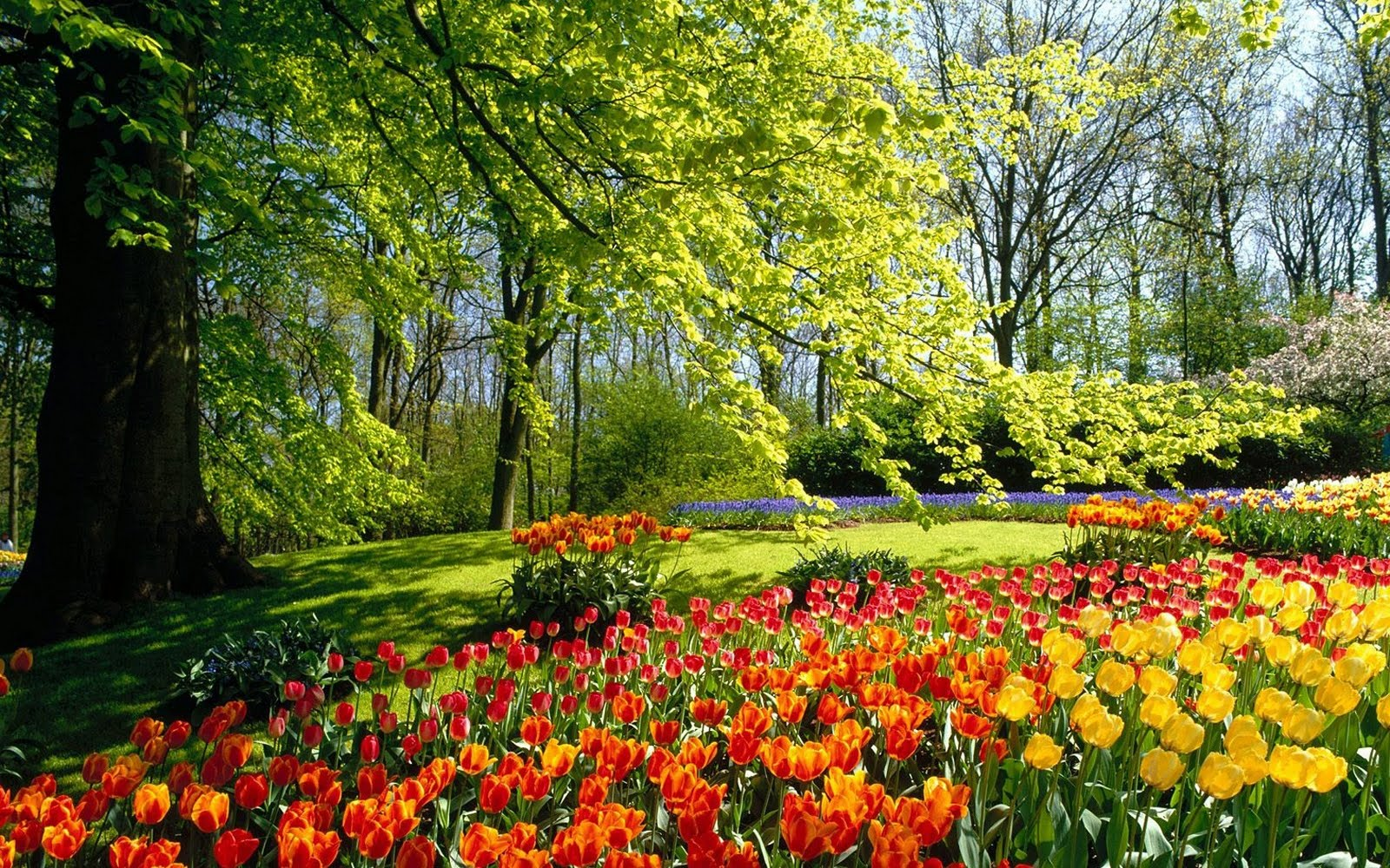 red tulips in spring wallpapers - Wallpaper red tulips in spring Wallpapers HD