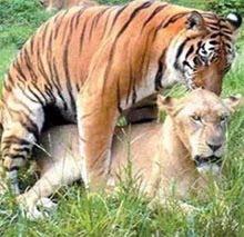 tigre y leona