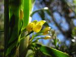 Maxillaria aurea