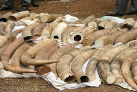 Illegally sourced Elephant Ivory