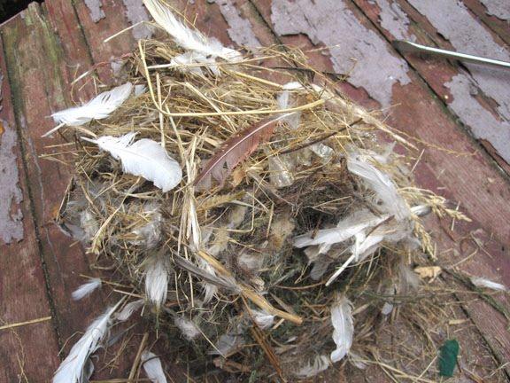 House Sparrow Nest Identification House Sparrow Nest