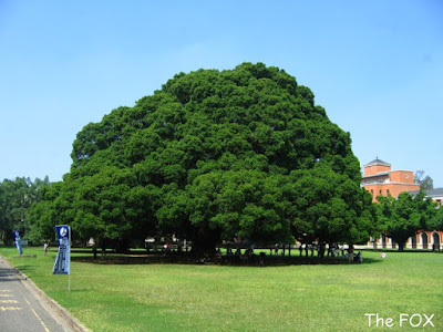 成大榕園大榕樹