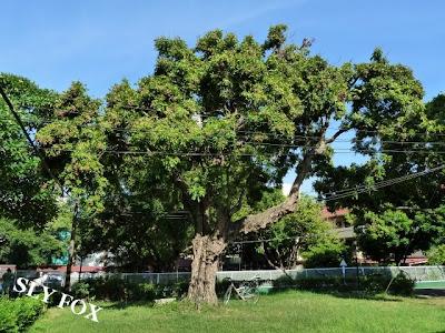 台南神學院老樹