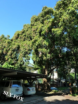 台南神學院龍眼樹