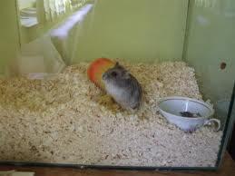 Hamsterul în cuşcă