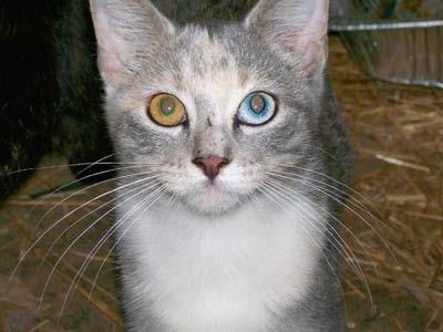 Contoh Heterochromia Iridium pada binatang
