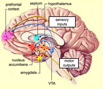 The Neurocritic: More About the Nucleus Accumbens