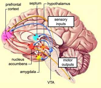 nucleus accumbens - Acur.lunamedia.co