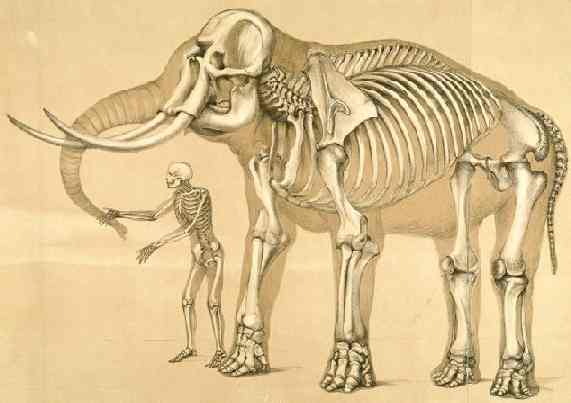 Elephant Skeleton Diagram http://vanessagebbiesnews.blogspot.com/2010_03_01_archive.html