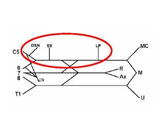 how to draw the brachial plexus in 5 min