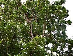 pohon kemang