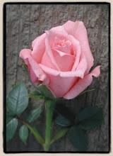 queen of roses مهروسه رقيقة فى صيدلتنا المصونة