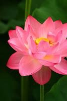 pure Lotus Healing