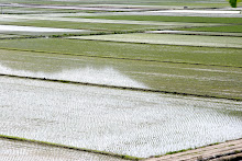 Newly Planted Rice Fields