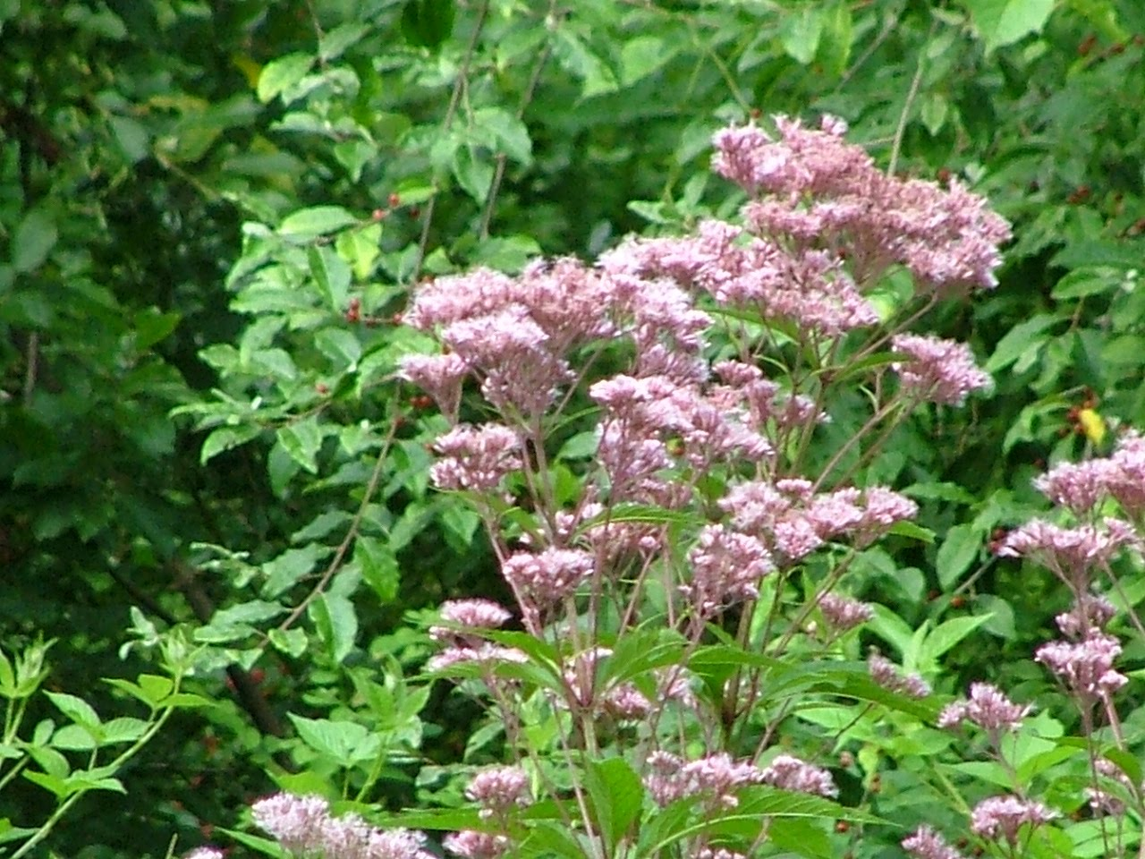 Wildlife wildflowers and a window summer on the orange trail for Joe pye weed