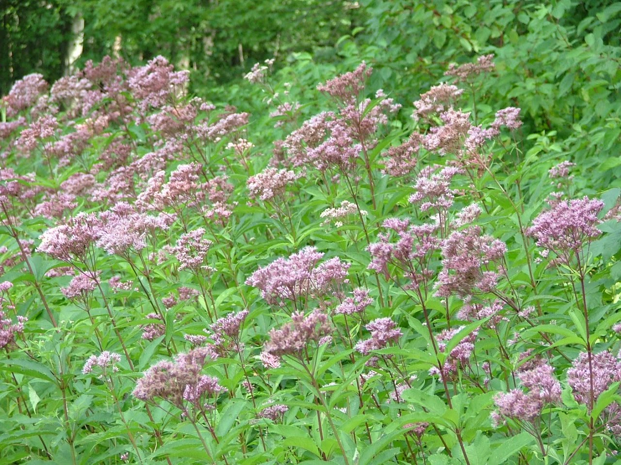 Wildlife wildflowers and a window the thousand acre swamp for Joe pye weed