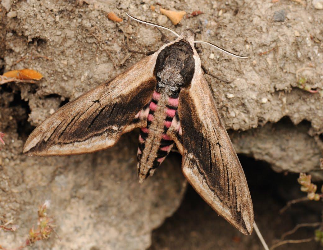 Privet hawk moth - photo#21