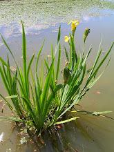 Iris faux-acore.