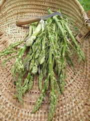 Une belle cueillette d'asperges vertes.