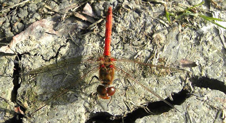 Magniphique mâle de sympétrum méridional se chauffant sur le sol craquelé par la sècheresse .