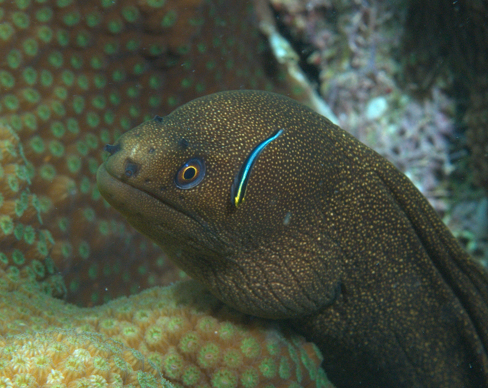 under pressure world: Goldentail Moray with Cleaning Goby- Dominica
