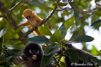 The best sighting, dusky leaf monkey, which i din get to see it during ...
