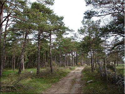 Cruzamos por el pinar