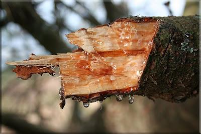 Goteo de resina de pino cerca de la cima