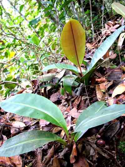 6 Manfaat Rumput Fatimah – Ibu Hamil & Setelah Melahirkan