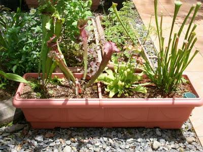 mini bog plantas carnívoras