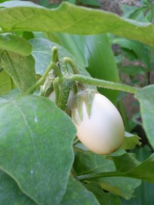 planta ovo solanum ovigerum