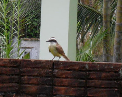 Pitangus sulphuratus observar aves