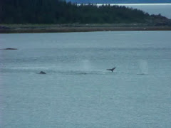 A pod of humpback whales
