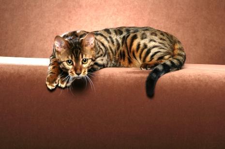 Kucing Bengal Dijual