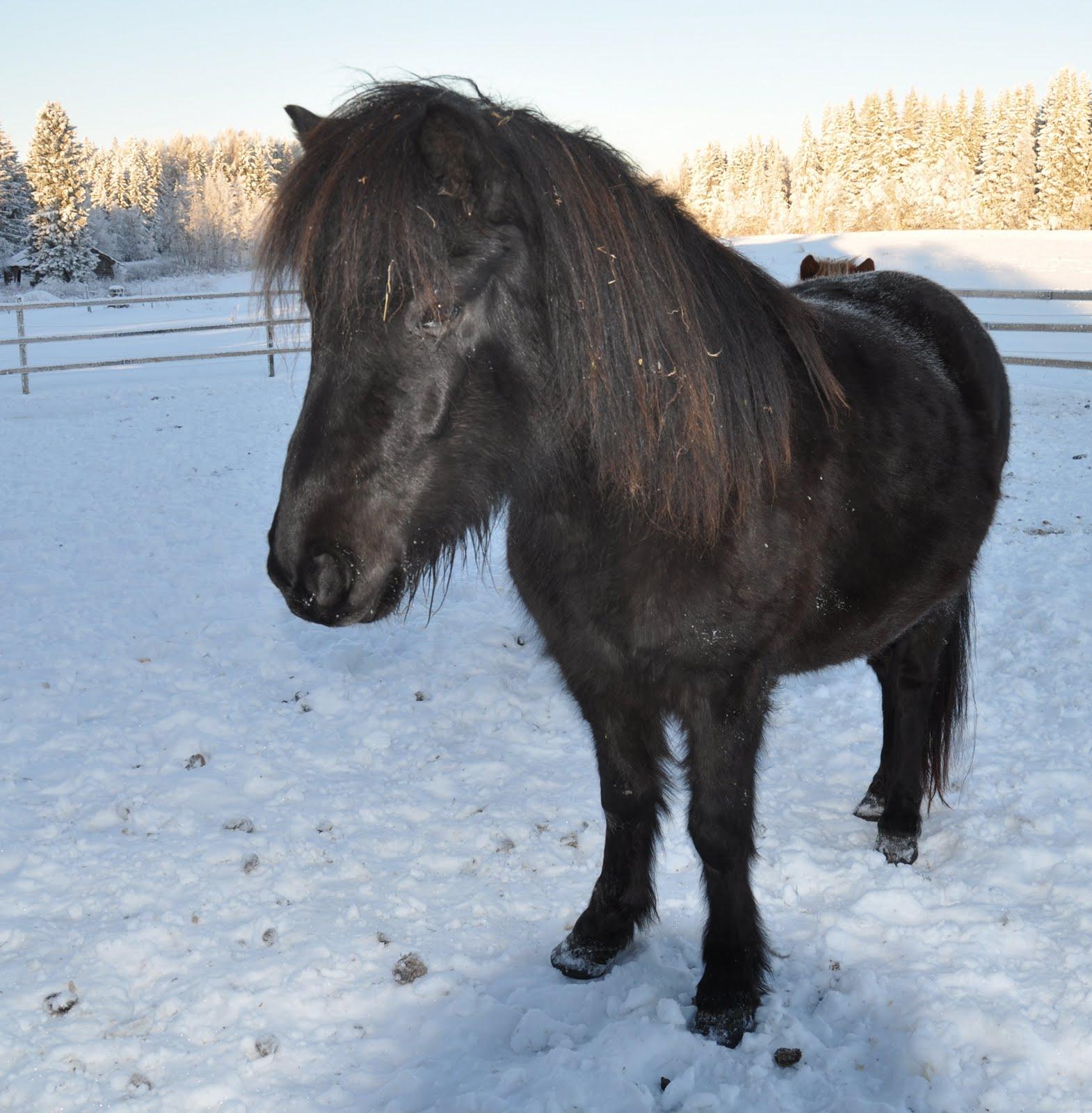 Fick en fin bild i går på Falas dotter Nattfaradis från Björsberg ...