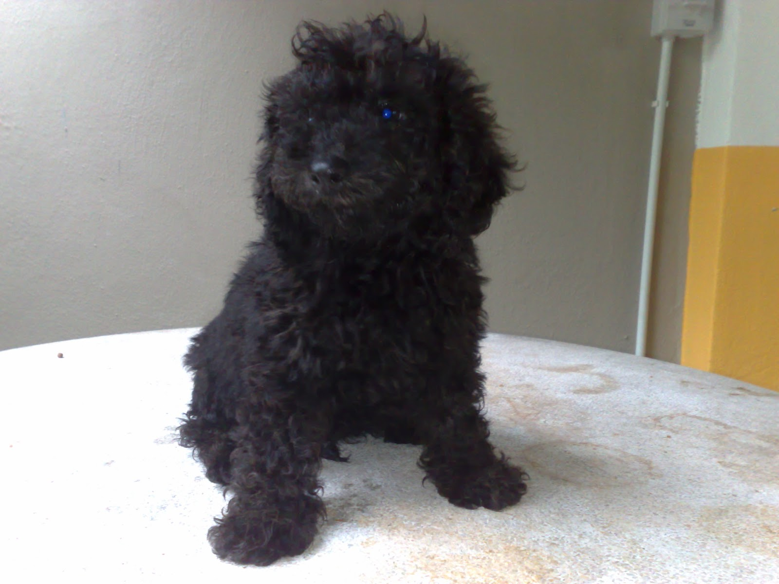 WOW WOW DOG PLANET: Black Adorable Poodle Puppy Available