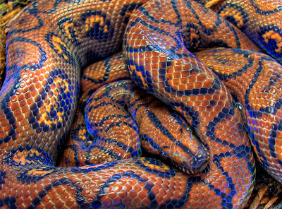 Rainbow Boa by bsmith4815 from flickr (CC-NC-SA)
